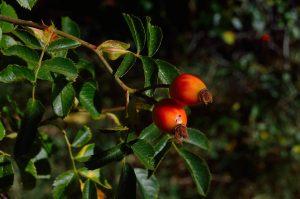 owoce jagody goji na krzewie